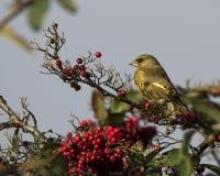 欧洲greenfinch坐一个分支用红色莓果 免版税库存图片