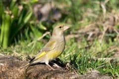 欧洲greenfinch母鸟 库存照片