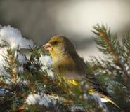 欧洲greenfinch 图库摄影