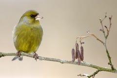 欧洲greenfinch 免版税库存图片
