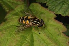 欧洲hoverfly helophilus trivittatus 库存照片