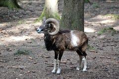 欧洲mouflon,羊属orientalis musimon r 免版税图库摄影