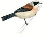 欧洲penduline pendulinus remiz山雀 免版税库存图片