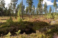 欧石南丛生的荒野在南瑞典 库存照片