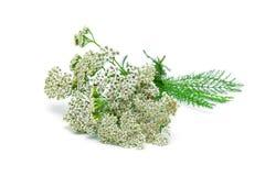 欧蓍草在白色背景的植物特写镜头 库存照片