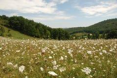 欧蓍草花在法国草甸 图库摄影