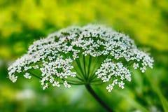 欧蓍草,一个四季不断的草本,宏指令 图库摄影