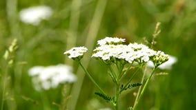 欧蓍草,与花的医药草本 股票录像