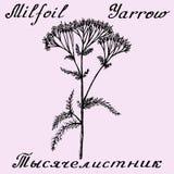 欧蓍草Achillea millefolium手拉的剪影植物的例证 库存图片
