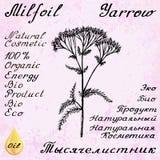 欧蓍草Achillea millefolium手拉的剪影植物的例证 免版税库存图片