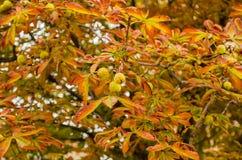 欧洲七叶树在秋天在城市公园 金黄秋天 叶子秋天 免版税库存照片