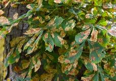 欧洲七叶树树叶子植物病gracillariidae幼虫 免版税库存图片