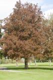欧洲七叶树树在秋天在德国 库存图片