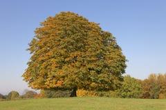 欧洲七叶树树(七页树属hippocastanum)七叶树果实树在秋天, Lengerich,北莱茵-威斯特伐利亚州,德国 免版税图库摄影