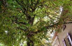 欧洲七叶树树 免版税库存图片