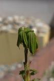 欧洲七叶树芽 免版税图库摄影