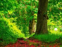 欧洲七叶树 免版税库存图片