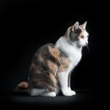 欧洲人坐在黑背景中的Shorthair猫 库存图片