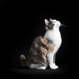 欧洲人坐在黑背景中的Shorthair猫 免版税库存图片