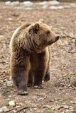 欧洲人棕熊在罗马尼亚 库存图片