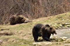 欧洲人棕熊在罗马尼亚 图库摄影