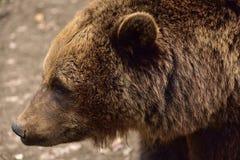 欧洲人棕熊在罗马尼亚 库存照片