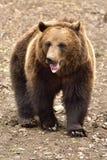 欧洲人棕熊在罗马尼亚 免版税库存图片