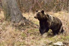 欧洲人棕熊在罗马尼亚 免版税库存照片