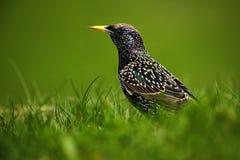 欧洲人椋鸟科,寻常的八哥类,在美丽的全身羽毛的黑暗的鸟走在绿草,动物在自然栖所,春天的, 免版税库存图片