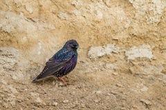 欧洲人椋鸟科,寻常的Sternis 免版税库存照片