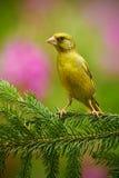 欧洲人Greenfinch, Carduelis虎尾草属,绿色和黄色歌手坐绿色落叶松属分支,与桃红色花在bac中 免版税库存图片