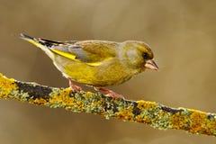 欧洲人Greenfinch, Carduelis虎尾草属,绿色和黄色歌手坐黄色落叶松属分支,有清楚的灰色背景 免版税库存照片