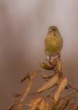 欧洲人Greenfinch - Carduelis虎尾草属-女性 免版税库存图片