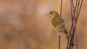 欧洲人Greenfinch - Carduelis虎尾草属-女性 免版税库存照片