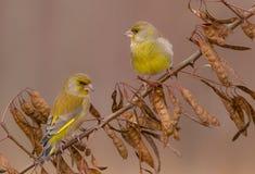 欧洲人Greenfinch - Carduelis虎尾草属-男性 库存照片