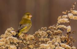 欧洲人Greenfinch - Carduelis虎尾草属-男性 图库摄影