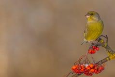 欧洲人Greenfinch - Carduelis虎尾草属 库存图片
