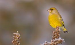 欧洲人Greenfinch - Carduelis虎尾草属 图库摄影