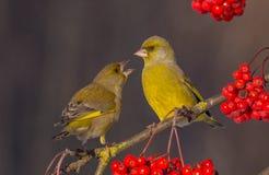 欧洲人Greenfinch - Carduelis虎尾草属 免版税库存照片