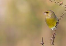 欧洲人Greenfinch - Carduelis虎尾草属 库存照片