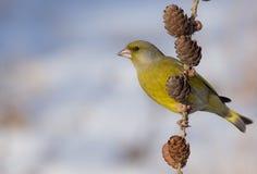 欧洲人Greenfinch - Carduelis虎尾草属 免版税图库摄影