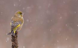 欧洲人Greenfinch - Carduelis虎尾草属- msle 库存图片