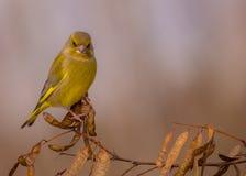 欧洲人Greenfinch - Carduelis虎尾草属- msle 免版税库存图片