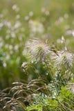 欧洲人Pasqueflower种子头  免版税库存图片