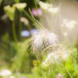 欧洲人Pasqueflower种子头  免版税图库摄影