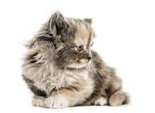 欧洲人Shorthair小猫, 1个月大,在白色的孤立 库存图片