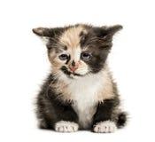 欧洲人Shorthair小猫, 1个月大,隔绝在白色 库存照片