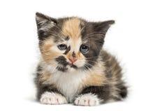 欧洲人Shorthair小猫, 1个月大,隔绝在白色 免版税库存照片