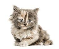 欧洲人Shorthair小猫, 1个月大,隔绝在白色 免版税库存图片