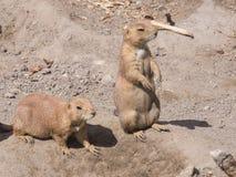 欧洲人Sousliks或地松鼠,地面松鼠类黄鼠属,在干燥地面,特写镜头画象,选择聚焦 免版税库存照片